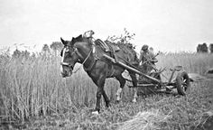 Als het Angelus klepte… Working People, Draft Horses, Picture Credit, My Heritage, The Good Old Days, Country Living, Agriculture, Vintage Photos, The Past