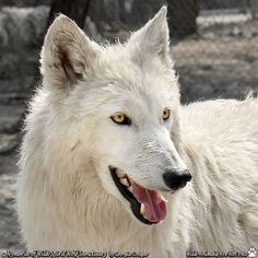 SAVE THE WOLVES - photo courtesy of Wild Spirit Wolf Sanctuary.