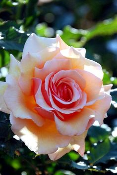Rose for today 24/10