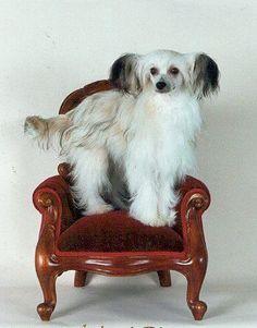 Chinese Crested Dog (Powderpuff)