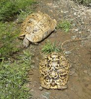 Care sheet for the leopard tortoise (Stigmochelys [Geochelone] pardalis).