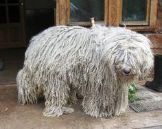 koomoodor dog | Komondor Wallpaper, Puppy Pictures, Breed Info. Large Dog Breeds, Large Dogs, Mop Dog, Komondor, Vizsla, Puppy Pictures, Cute Dogs, Cute Animals, Puppies