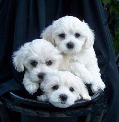 http://4.bp.blogspot.com/-QNp0_2vt4aI/UHQos3B-sOI/AAAAAAAAAeA/nFsPSlYoh80/s1600/Maltese_Puppies.jpg