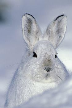 Snowshoe Hare.  White on white.