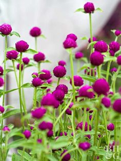 You also can call it globe amaranth, but whatever you call it, just plant it. It's an annual and has these great circular flower heads (they dry well, if you're into that). They love sun and come in lots of shades—orange, yellow, pink, white, and purple. Bonus: Just toss a handful of seeds into your garden—that's it.