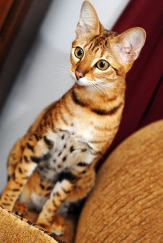 The Serengeti cat looks much like the gorgeous African Serval. His long legs allow him to jump up to 7 feet, and this breed is known for being vocal.