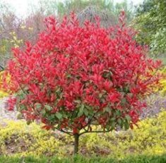 Home Garden Plants, Home And Garden, Photinia Red Robin, China Garden, Cheap Flowers, Flower Seeds, Backyard Landscaping, Bonsai, Planters