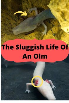 The olm can live to be 100 and often goes years without food, sex, or even moving. One was recently observed doing absolutely nothing for 569 days straight. Interesting History, Interesting Stories, Interesting Facts, Cat Laser Toy, Puppy Carrier, Protective Dogs, Pet Trainer, Puppy Supplies, Cat Tent