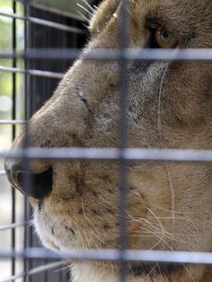 Rescued circus lion on first day in wildlife preserve
