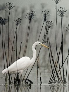Great white egret (Ardea alba) wading among tall black stems and seed pods. Pretty Birds, Love Birds, Beautiful Birds, Animals Beautiful, Funny Bird, White Egret, Photo Animaliere, Shorebirds, Kinds Of Birds