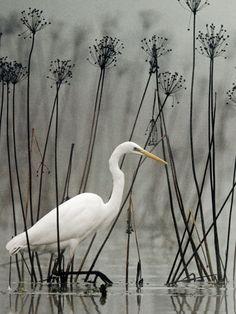 Egret in the Reeds - Im Schwanenblumenwald - casmerodius            (Forum für Naturfotografen)