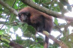 Titi Monkey with black face - New species - Une nouvelle espèce de singe titi, au visage noir, découverte au Pérou