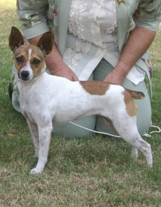 Tenterfield Terrier: Breed Information, Dog Facts and Care Advice Terrier Mix, Terrier Dogs, Striped Hyena, Australian Terrier, American Eskimo Dog, Dog Facts, Pet Paws, Mountain Dogs, Dogs Of The World