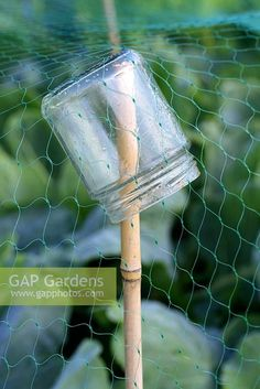 Recycled glass jam jar on bamboo cane with netting for pest control and plant protection