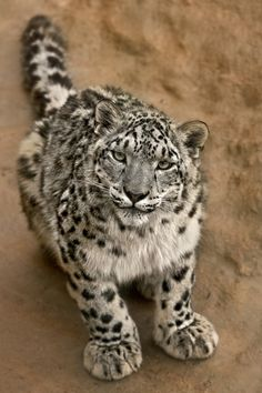 Snow Leopard...those feet! Adapted to be so big!