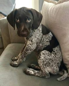 More About Enthusiastic German Shorthaired Pointer Puppies Grooming Gsp Puppies, Pointer Puppies, Pointer Dog, Cute Puppies, Cute Dogs, German Pointer Puppy, Puppy Dog Eyes, German Shorthaired Pointer, Puppy Care