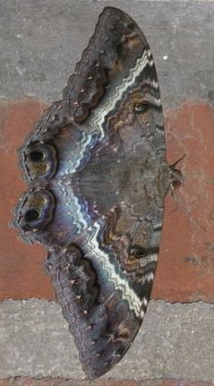 BLACK WITCH MOTH or LANAI MOTH ©Will The nocturnal Black Witch - the largest moth in the continental United States, with a wing span of six to seven inches. Description from pinterest.com. I searched for this on bing.com/images