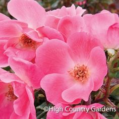 Rosa Radcon   Pink Knock Out Shrub Rose