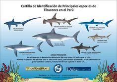 Cartilla de identificación de especies de tiburones presentes en Perú
