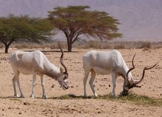 The addax, also known as the white antelope and the screwhorn antelope, is…