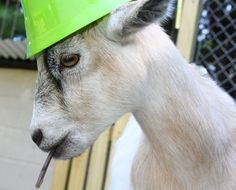 Our goats have LOTS of personality!!