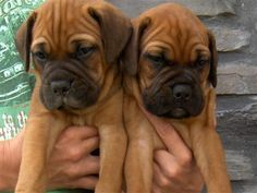 Bullmastiff puppies!