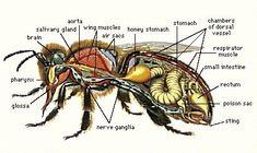 Ilustrowana Anatomia Honey Bee
