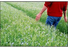 Flax field / champ de lin