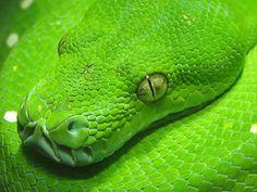 Snake Spirit Meaning, Symbols, and Totem Snake Spirit Animal, Your Spirit Animal, Snake Totem, Spirit Meaning, Green Chakra, Animal Meanings, Snake Shedding, Animal Magic, Wild Creatures