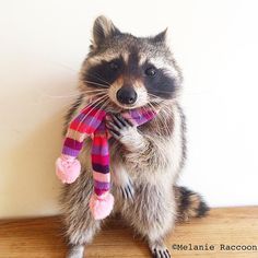 Raccoon In My Backyard . Raccoon In My Backyard . 1101 Best Roxie Raccoon Images In 2020 Animals And Pets, Baby Animals, Funny Animals, Cute Animals, Baby Raccoon, Racoon, Animal 2, Pet Costumes, Sleepy Cat