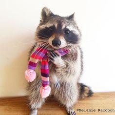 Raccoon In My Backyard . Raccoon In My Backyard . 1101 Best Roxie Raccoon Images In 2020 Baby Raccoon, Cute Raccoon, Racoon, Animals And Pets, Baby Animals, Funny Animals, Cute Animals, Mundo Animal, Animal 2