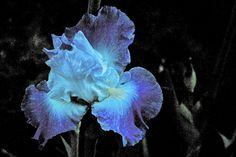 Abstract Fine Art Photography Purple Iris Flower, Iris - 8x12. $20.00, via Etsy.
