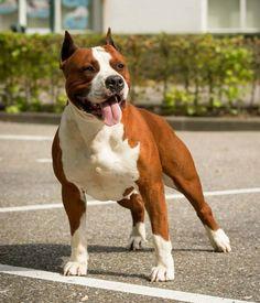 Amstaff Big Dogs, I Love Dogs, Cute Dogs, American Staffordshire, Staffordshire Bull Terrier, Amstaff Terrier, Bully Dog, Dog Games, Bullies
