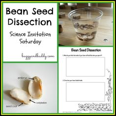 Observing the inside of a bean at Science Invitation Saturday {free printable}
