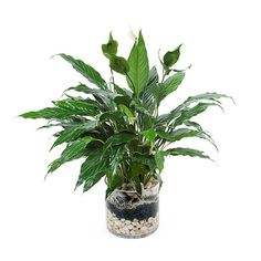 Spathiphyllum in Glass - plantshed.com