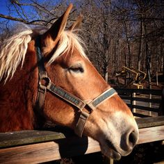 Tennessee Walking Horse, Pony, Horses, Animals, Pony Horse, Animales, Animaux, Animais, Ponies