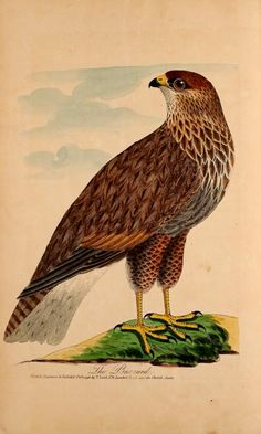 Lord's Entire new system of ornithology, or, Oecumenical history of British birds ... / - Biodiversity Heritage Library