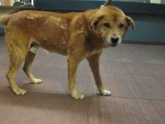 LOUIE - ID#A1368876  My name is Louie and I am an unaltered male, red Chow Chow mix.  The shelter thinks I am about 8 years old. I weigh approximately 51 pounds.  I have been at the shelter since Jan 18, 2013.   This information is less than 1 hour old. West Valley Animal Care and Control Center at (888) 452-7381