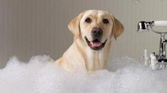 ¿Cuáles son los pasos a seguir para bañar un perro? http://www.mascotadomestica.com/articulos-sobre-perros/cuales-son-los-pasos-a-seguir-para-banar-un-perro.html