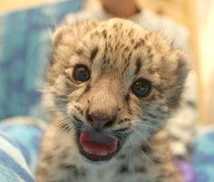 Snow Leopard Cub new born