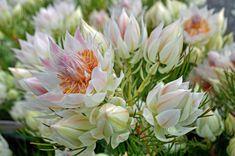 King Protea Serruria florida 'Blushing Bride'