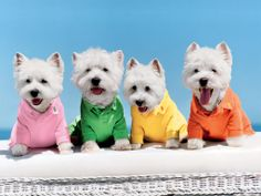 Westies - Can't help but love them.