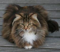 Norsk Skogkatt / Norwegian Forest Cat Like & Repin thx. Follow Noelito Flow instagram http://www.instagram.com/noelitoflow #NorwegianForestCat