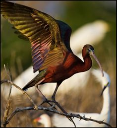 A warm-weather visitor to Delmarva, the Glossy Ibis is thought to have immigrated naturally to South America from Africa in the 19th century and they spread to North America. In the right light it is easy to see why they are named glossy.