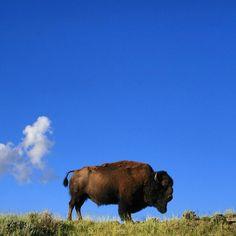 fuzzy moo moo bison