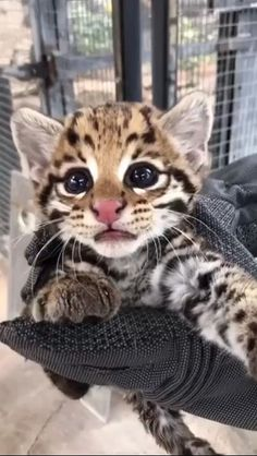 Cute Little Animals, Cute Funny Animals, Cute Cats, Beautiful Cats, Animals Beautiful, Kittens Cutest, Cats And Kittens, Cats Bus, Cute Creatures