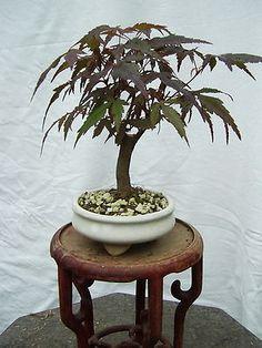 Acer palm. Nigrum roter japanischer Fächerahorn ein super Zwerg