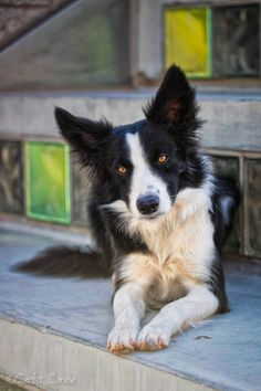 """I love Border Collies with prick ears. !! From your friends at phoenix dog in home dog training""""k9katelynn"""" see more about Scottsdale dog training at k9katelynn.com! Pinterest with over 20,000 followers! Google plus with over 136,000 views! You tube with over 400 videos and 50,000 views!! Serving the valley for 11 plus years"""