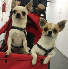 Between Friends, Chugs, Chihuahua Love, Chihuahuas, Beautiful Children, Puppy Love, Boston Terrier, Cute Dogs, French Bulldog