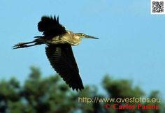 Aves de humedales. Foto de arza imperial en pleno vuelo. Ardea purpurea
